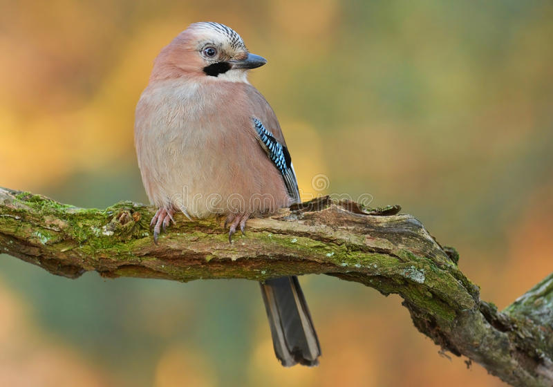 Jay bird stock image