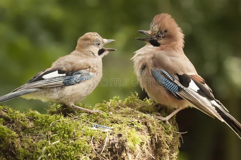 Jay bird parent with young close up. Jay bird parent with young chick wanting food, close up on a moss covered log in a woodland scene stock photos