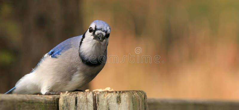 Jay bleu avec des graines photo stock