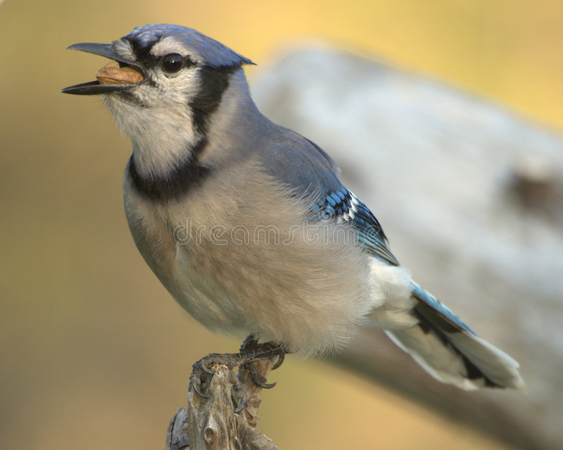 Jay bleu (cristata de Cyanocitta) photographie stock libre de droits