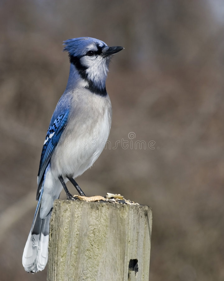 Jay bleu (cristata de Cyanocitta) images stock