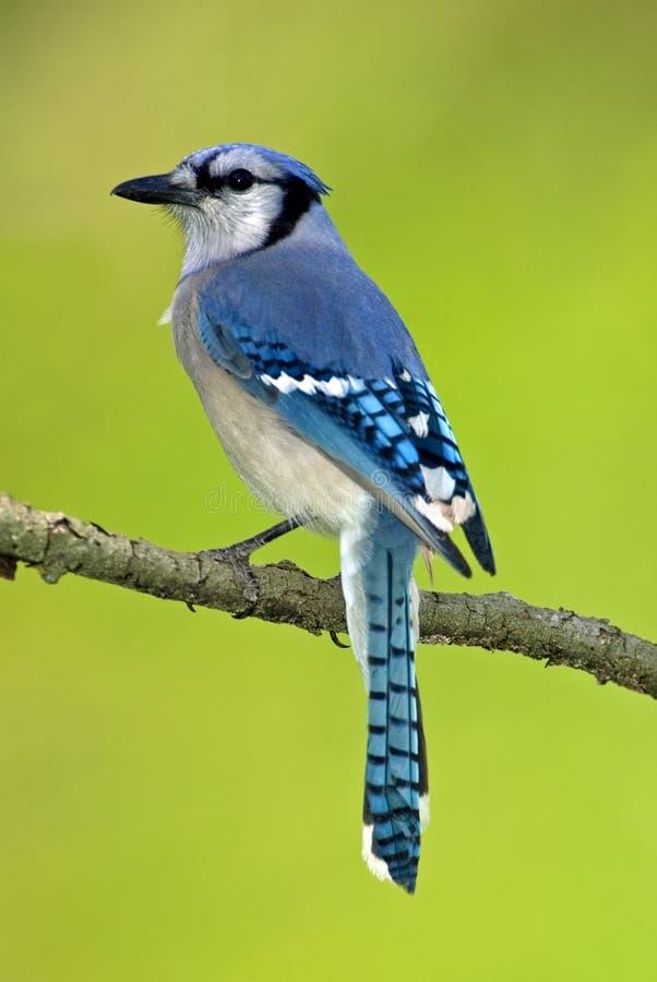 Jay bleu (cristata de Cyanocitts) photo stock