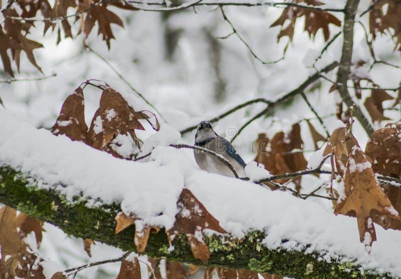 Jay bleu dans la neige image libre de droits