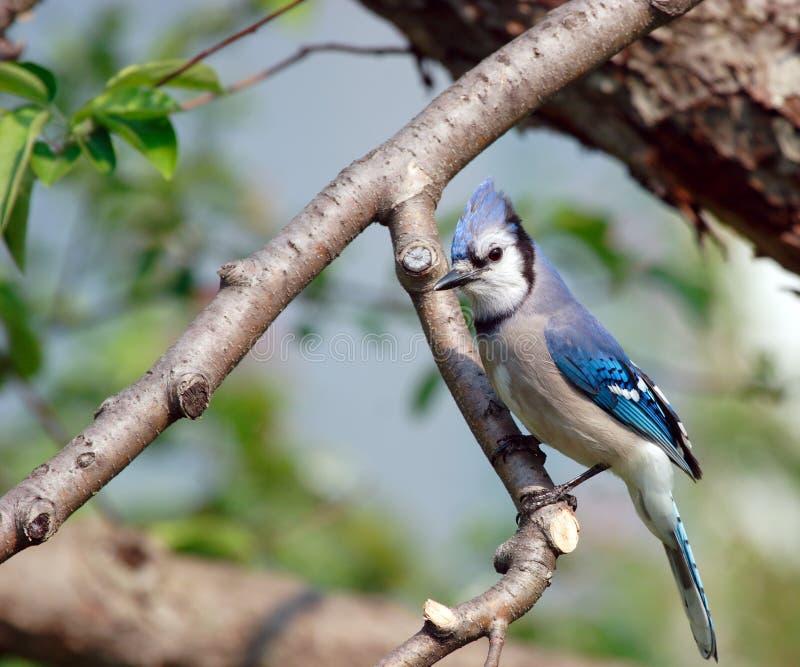 Jay bleu dans un pommier images libres de droits