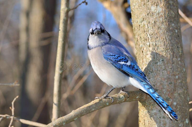 Jay blu immagini stock