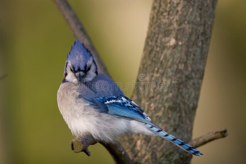 Jay blu fotografie stock libere da diritti