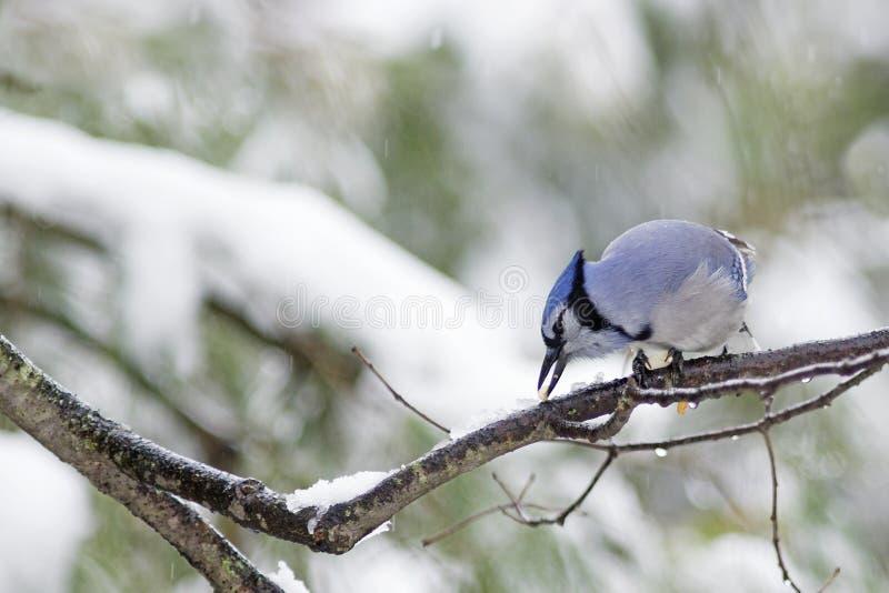 Jay blu (cristata del Cyanocitta) fotografia stock