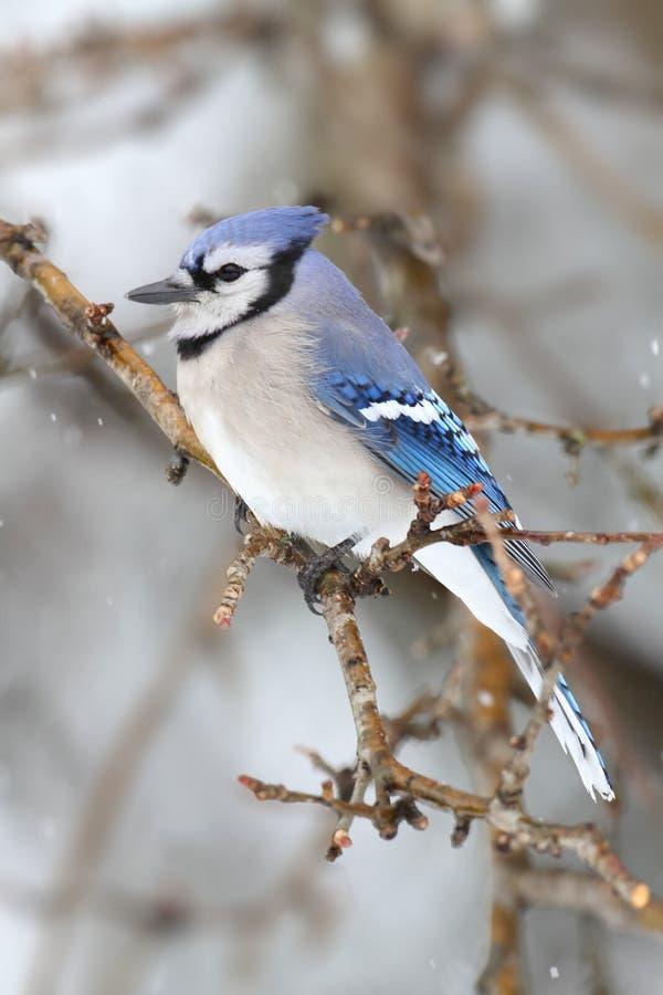 Jay blu in neve immagine stock libera da diritti
