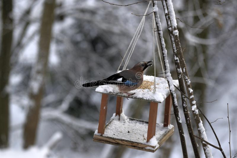 Jay che si siede sulla mangiatoia dell'uccello nella neve e nel gulp il cereale fotografia stock libera da diritti