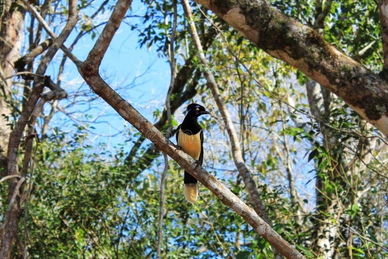Jay Cyanocorax Chrysops Iguazu Peluche-crêté image libre de droits