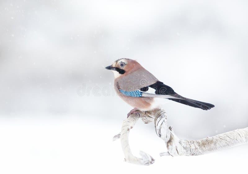 Jay euroasiatico che si appollaia su un ramo di albero nella neve di caduta immagine stock libera da diritti