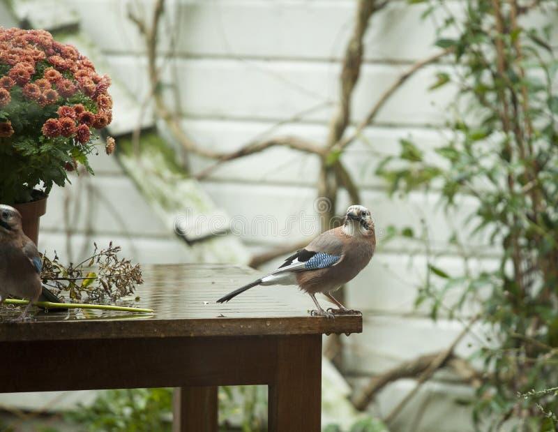 Jay in giardino fotografie stock libere da diritti