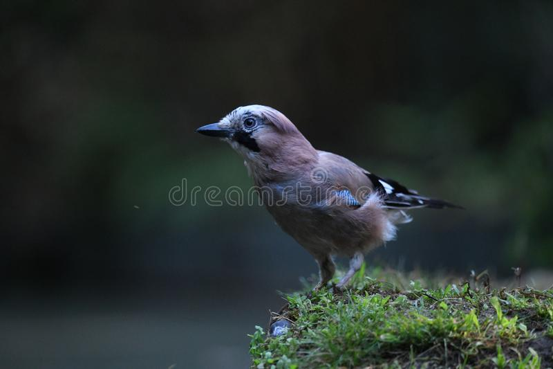 Jay in the grass on the side of the water pool stock photos