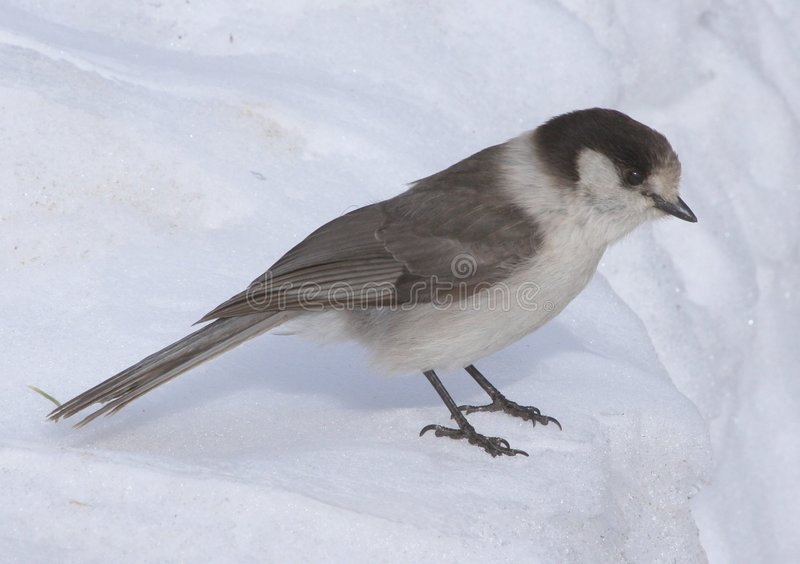 Jay gris (canadensis del Perisoreus) foto de archivo libre de regalías