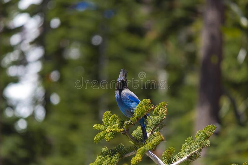 Jay in Lassen Volcanic National Park stock photography