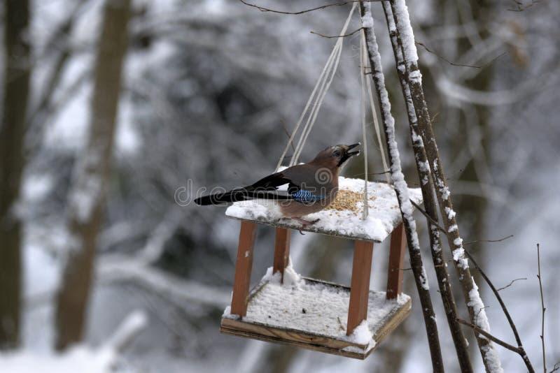 Jay obsiadanie na ptasim żłobie w śniegu i łyka puszku kukurudza zdjęcie royalty free