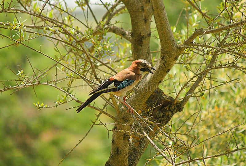 Jay on the olive branch. A jay on the olive branch royalty free stock photography