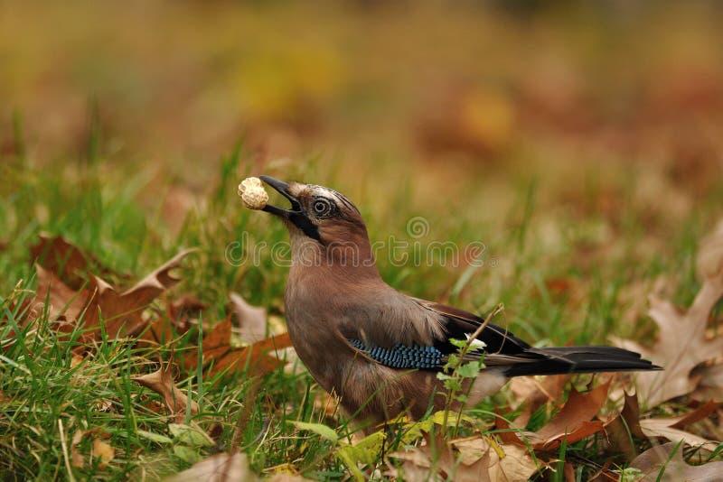 Jay with peanut in beak on grass