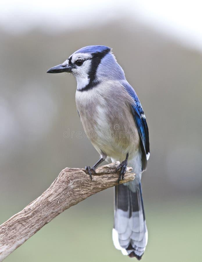 Jay Perched azul foto de archivo libre de regalías