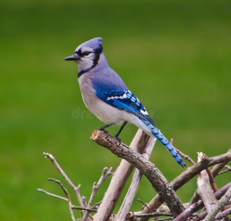 Jay Perched bleu sur des branches d'arbre image stock