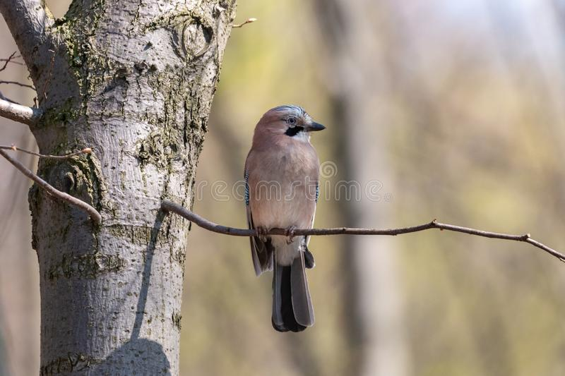 Jay perching on tree branch in spring forest stock image