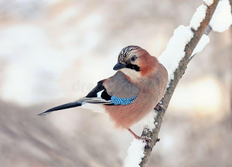 Jay ptak siedzi na gałąź w śnieżnej zimie zdjęcie royalty free