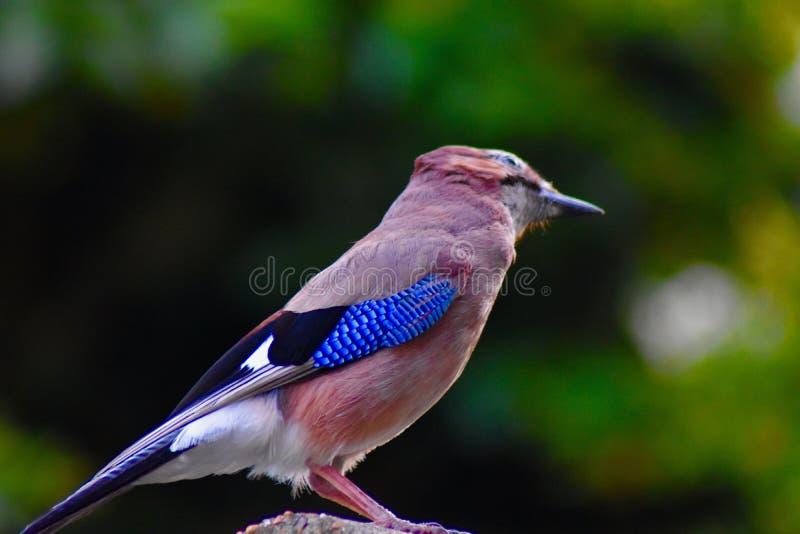 Jay ptak umieszczający na ogrodzeniu zdjęcie royalty free