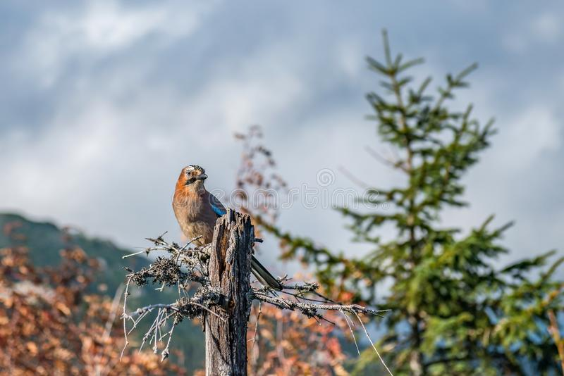 Jay resting on a beautiful autumn day royalty free stock images