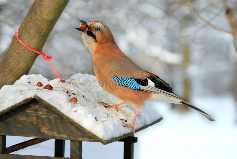Jay stealing nuts from a bird feeder. royalty free stock photos