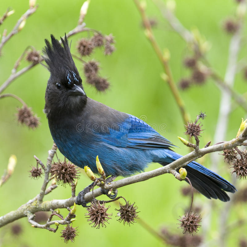 Download Jay Steller's Blue Bird stock photo. Image of bird, perched - 19292550
