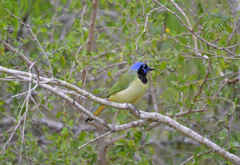 Jay verde fotografie stock libere da diritti