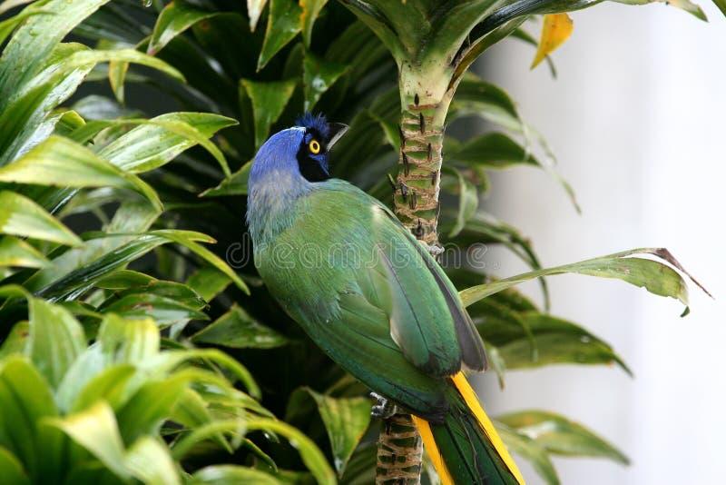 Jay verde immagini stock libere da diritti