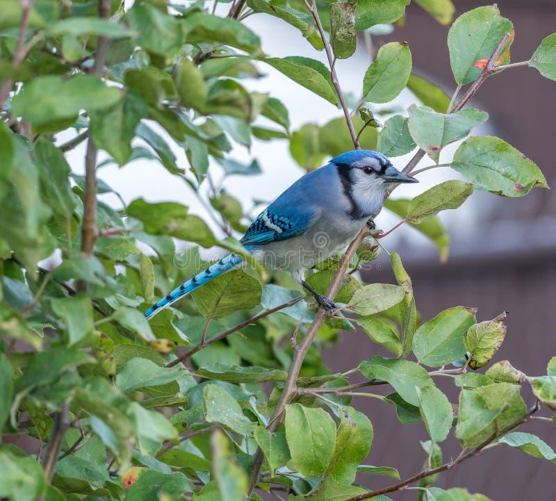 Jay Watching azul ocultado su territorio fotografía de archivo