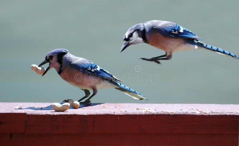 Jays azul fotos de stock royalty free