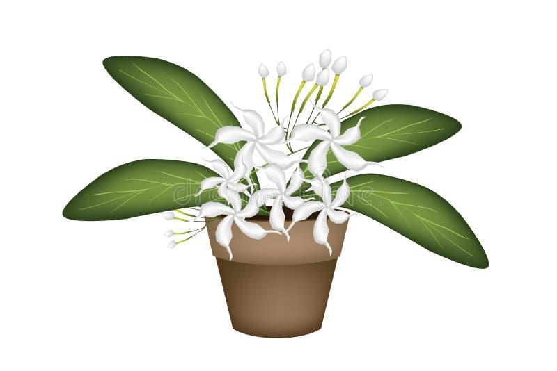 Jazmín de cabo blanco hermoso un pote de la terracota stock de ilustración