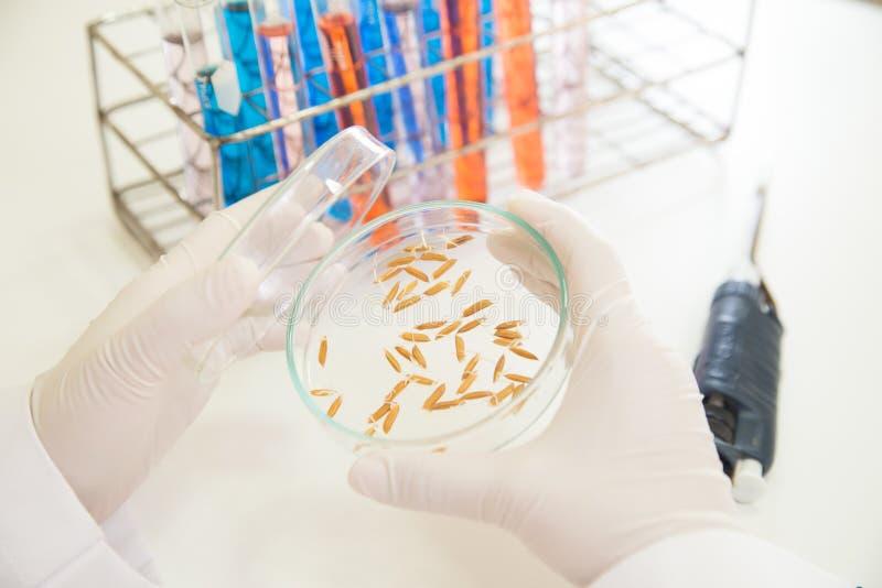 Jazmín del arroz de la investigación del científico que trabaja en el laboratorio imagenes de archivo