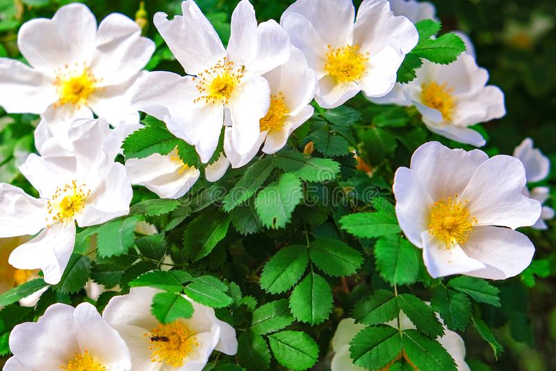 Jazmín floreciente de los arbustos primer fotografiado de las flores blancas del jazmín imagen de archivo