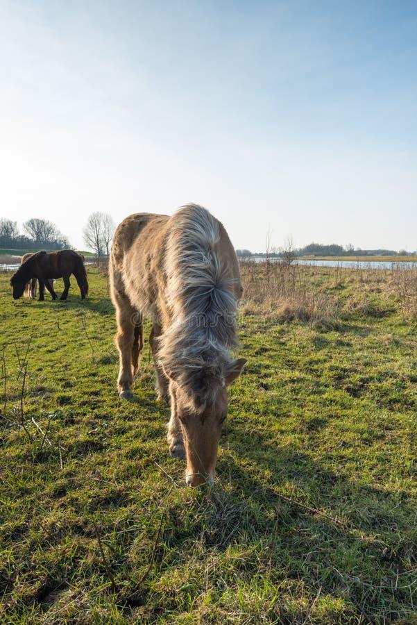 Jeść Islandzkiego konia z blondynek grzywami od zakończenia zdjęcia royalty free