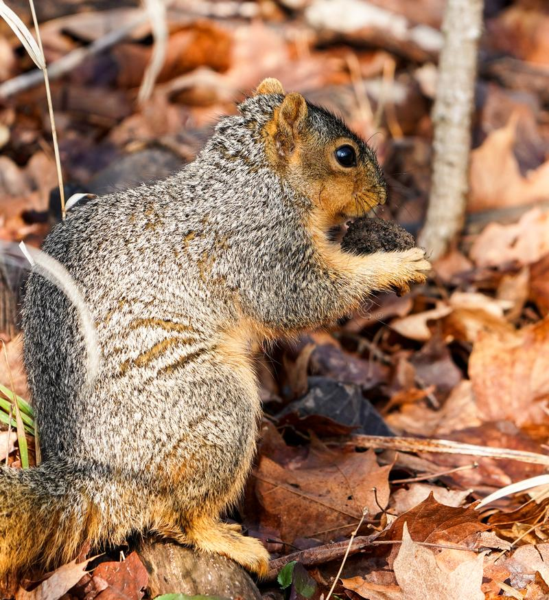 jeść orzeszki wiewiórka fotografia stock