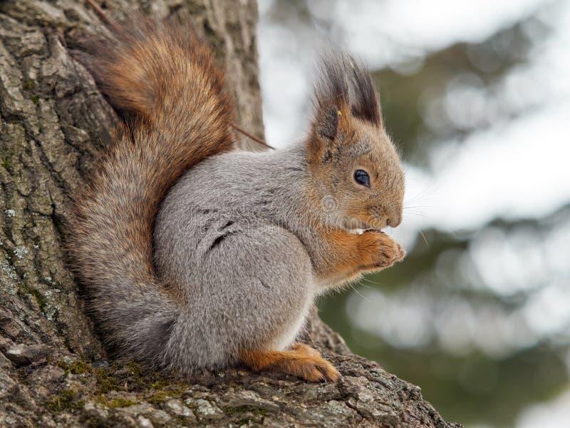 jeść orzeszki wiewiórka zdjęcie stock