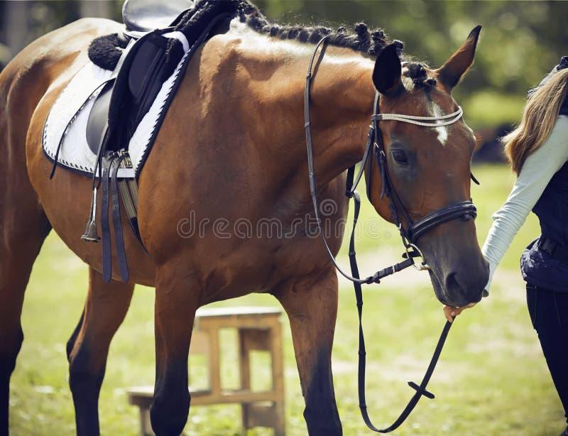 Jeździec prowadzi uzda konia, ubierającego w amunicjach dla equestrian sportów zdjęcia royalty free