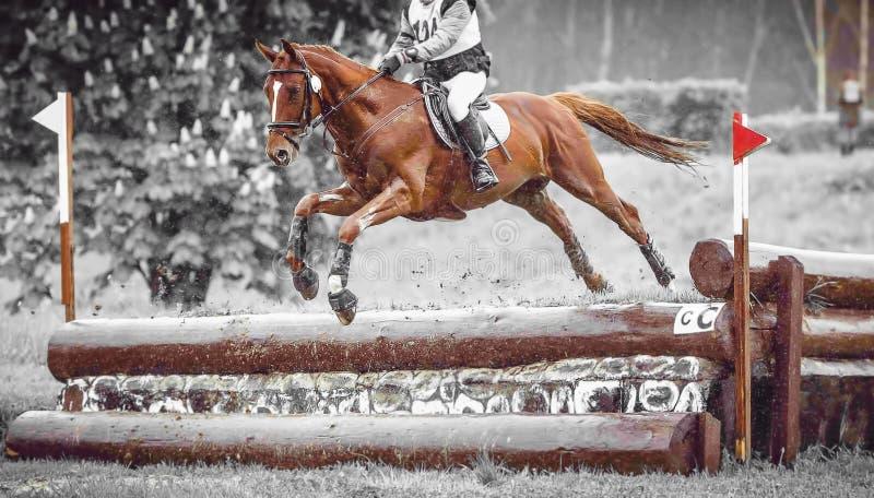 Jeździec skacze konia podczas praktyki na przecinającego kraju eventing kursie, duotone sztuka fotografia stock