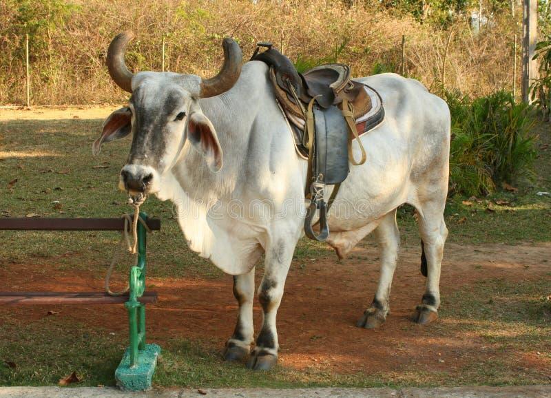 Jeździecki byk zdjęcie stock