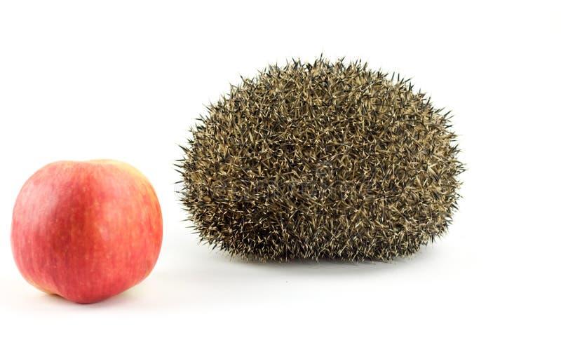 Jeż i czerwieni jabłko na białym tle obrazy stock