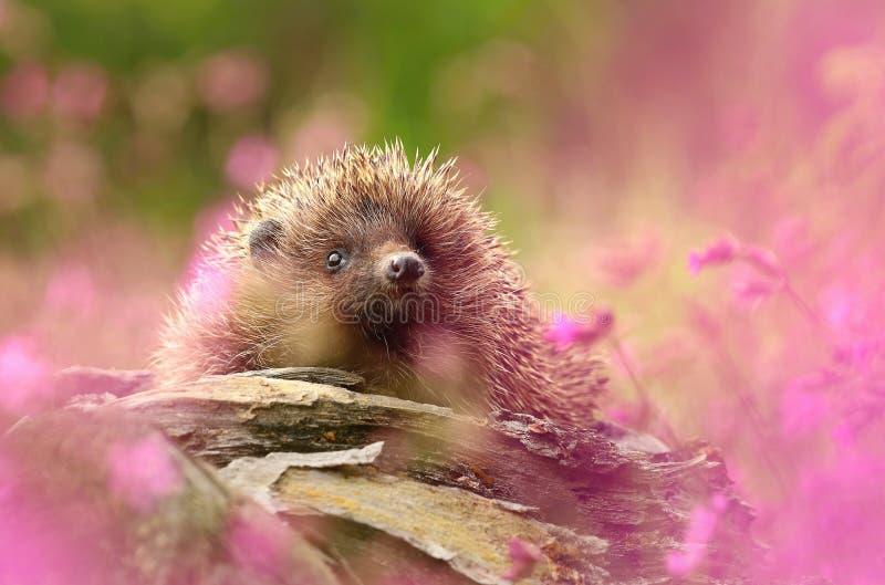 Jeż w kwiatach zdjęcie stock