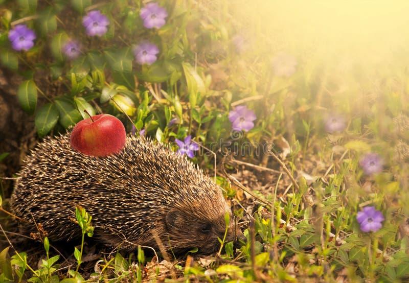 Jeż z jabłkiem na plecy w zielonej łące przy słonecznym dniem Natury wiosny tło Przestrzeń dla teksta zdjęcia stock