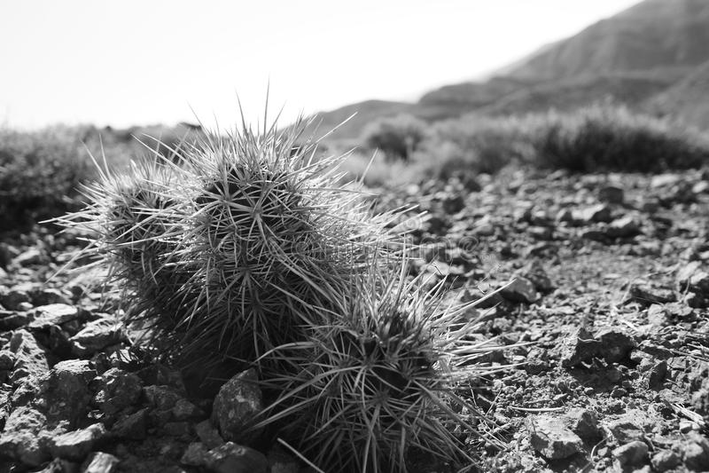 Jeża kaktus obrazy royalty free