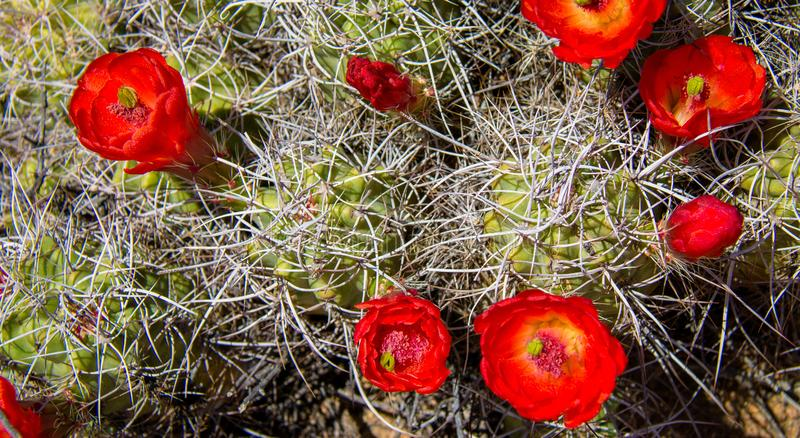 Jeża kaktusa kwiat obrazy royalty free