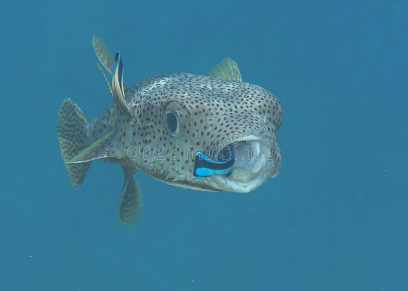 Jeżatek pufferfish czyści cleaner ryba fotografia royalty free