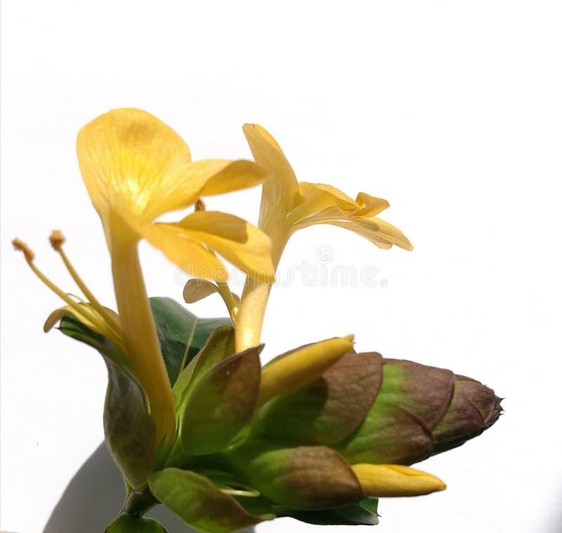 Jeżatka kwiat zdjęcia stock